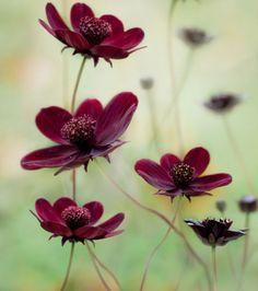 Cosmos atrosanguineus a obtenu la première place dans la catégorie Portraits de plante. Le titre a été choisi en raison de l'odeur de vanille et chocolat que dégage la fleur en fin de journée (Crédit photo : Mandy Disher)