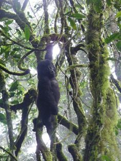 'Muzungu in the Mist' - Baby gorilla pirouettes above our heads in Bwindi Impenetrable Forest, Uganda