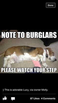 Why bassets make bad guard dogs