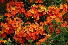 Hardy marmalade bush adds flamboyance to your flora