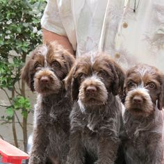 Once you own a Cottonwood Wirehaired Pointing Griffon, we will always be available to answer any questions you may have. Unique Dog Breeds, Rare Dog Breeds, Cute Puppies, Cute Dogs, Gsp Puppies, German Wirehaired Pointer, Wirehaired Pointing Griffon, Griffon Dog, Hunting Dogs