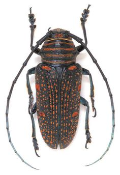 Zographus regalis centralis Location:Cameroon Size:2.5 cm