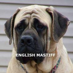 ENGLISH MASTIFF - Owning & Training an English Mastiff (YouTube) http://www.dunway.com/
