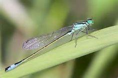 Libellule demoiselle Ischnura elegans (CANON 5D + EF 100mm macro USM ...