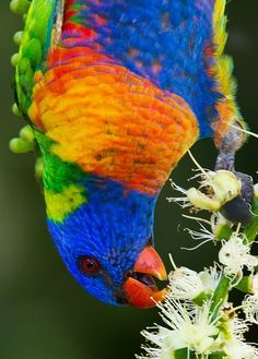 Rainbow Lorikeet at Centenary Lakes, Queensland, Australia by Eric Gofreed Photography