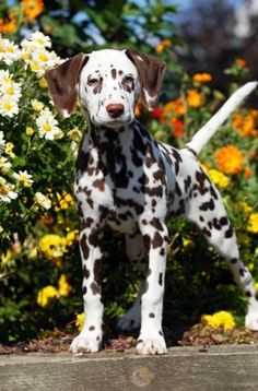 A liver Dalmatian - that's brown to you - I saw one of these for the first time recently. He was absolutely beautiful