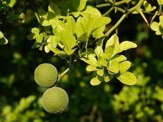 Die Poncirus trifolata gilt als winterharte Alternative zum Orangenbaum. Lest hier, wie Ihr in Eurem Garten Poncirus trifoliata pflanzen und pflegen könnt.