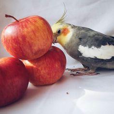 Ну а кто не любит яблоки#parrot #apple by victoria.meal http://www.australiaunwrapped.com/