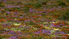 Namaqualand – South Africa's Daisy Sensation Beautiful Places In The World, Beautiful Scenery, Western Coast, All Nature, Four Seasons, Wild Flowers, South Africa, Egypt, Bloom