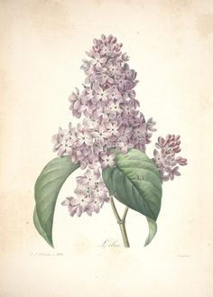 flowers-23938  lily lilac vintage illustraton by Redoute P J