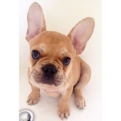 French Bulldog Puppy, via Batpig & Me Tumble It