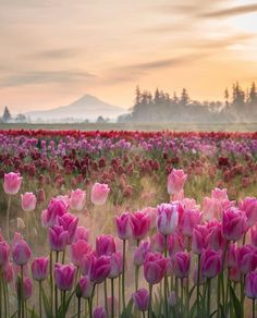 View of Mt Hood through tulips.  Woodburn, OR