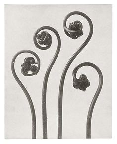 Karl Blossfeldt: Northern Maidenhair fern - young rolled up fronds