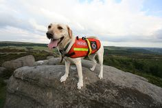 Search and Rescue Yellow Labrador. Search And Rescue, Dog Boarding, Dog Behavior, Training Your Dog, Pet Stuff, Dog Owners, Troll, Make Me Smile, Labrador Retriever