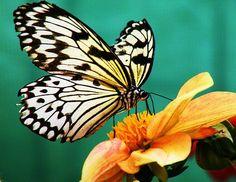 Butterfly, Paper Kite, Flower