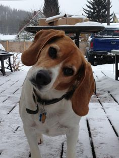 """Put the camera down and come PLAY! There's SNOW!"" (Don't know if it applies to all beagles, but ours LOVES snow)"