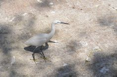 Little Egret at Giza Zoo by Hatem Moushir 8 - Categorie: garzetta - Wikimedia Commons