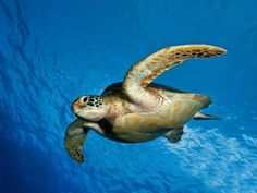 23 Images For The Beautiful And Amazing Underwater Animals World Green Turtle Creatures