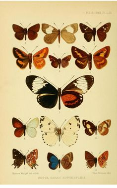 'Costa Rican Butterflies.' Plate from 'New Species of Rhopalocera from Costa Rica' by William Schaus. 1913.Smithsonian Libraries.Biodiversity Heritage Library.archive.org