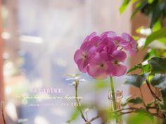 道のりを記憶に残して: ピンクのゼラニウムとラナンキュラス/花・ガーデニング