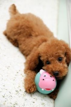 Photo about A young toy poodle puppy at play with its favourite bunny rabbit chew toy. Image of toys, poodle, puppy - 13939045 Dog Breeds That Dont Shed, Small Dog Breeds, Small Dogs, Cute Puppies, Cute Dogs, Dogs And Puppies, Doggies, Teacup Puppies, Non Shedding Dogs