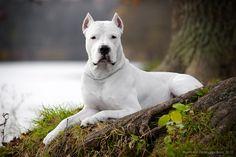 #Dogo #Argentino