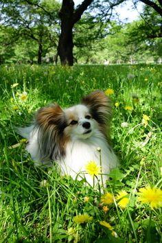 lounging Papillon Dog