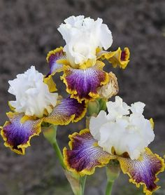 Patchwork Puzzle Tall Bearded Iris
