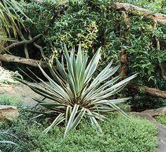 Yucca-Zone 6