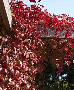 Loistava syysväritys! Outdoor Balcony, Autumn Garden, Garden Plants, Christmas Tree, Exterior, Holiday Decor, Flowers, Red, Fall