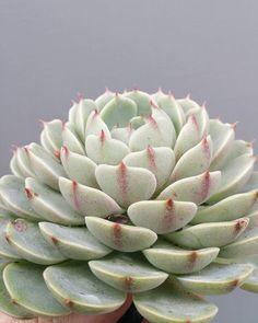 Echeveria ben badis.  #succulents #succulent #echeveria #echeveriabenbadis