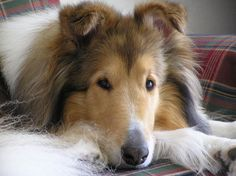 Watching ~ Beautiful Collie