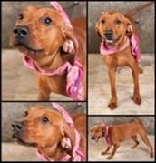 URGENT HIGH KILL SHELTER!  She is dressed and ready to go to her new home.  Please rescue her soon this pound is full!!  Adopt Carolina (Rescue Me), a lovely 1 year  7 months Dog available for adoption at Petango.com.  Carolina (Rescue Me) is a Coonhound, Redbone and is available at the Adoptions in GREENVILLE, SC