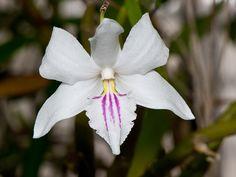 Dendrobium papilio - Flickr - Photo Sharing!