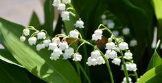Lily of the Valley (Convallaria majalis) Seven Heavens, Diy Flowers, Flower Diy, Lily Of The Valley, Photography Photos, Greenery, Diy Crafts, Garden, Nature