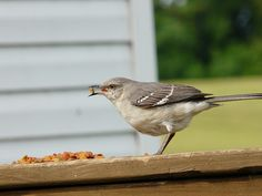 The Mockingbirds love cat food...yes cat food. Meow Mix in particular.
