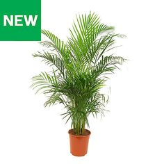 B&Q Butterfly palm - B&Q for all your home and garden supplies and advice on all the latest DIY trends Largest Butterfly, Cedar Fence, Bedroom Plants, Planting Seeds, Garden Supplies, Houseplants, Cactus Plants, Shrubs, Palm