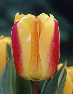 Darwin Hybrid Tulip 'Bienvenue' Types Of Tulips, Types Of Roses, Love Flowers, Spring Flowers, Beautiful Flowers, Pansies, Daffodils, Parts Of The Earth, Special Flowers
