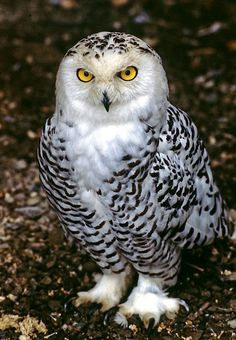 Snowy owl - Birds of Prey