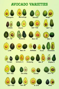 The avocado is a tree native to Central Mexico, classified in the flowering plant family Lauraceae along with cinnamon, camphor and bay laurel. Avocado or alligator pear also refers to the fruit of the tree. Avocado Varieties, Types Of Avocados, Avocado Nutrition Facts, Avocado Health Benefits, Vegan Nutrition, Permaculture, Avocado Farm, Avocado Guacamole, Avocado