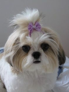Life Expectancy in Shih Tzu Dogs | Annie Many