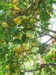 meyer lemon tree...... would want a lemon tree in my garden