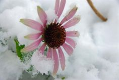 Cone Flower in the Snow