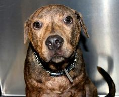 Blithe: Beautiful 7-month-old pit mix running out of time at high-kill  shelter RESCUED!