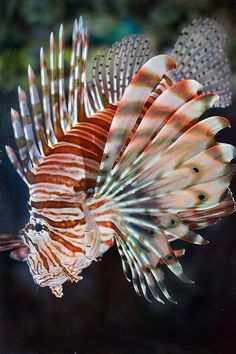 The fish that roared by Stinkersmell, via Flickr   Lionfish