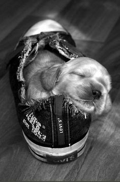 A puppy and his sneaker.