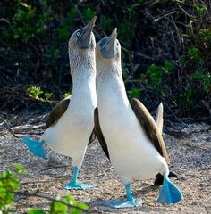 funnywildlife: Blue Footed Boobies The Blue-footed Booby is a bird in the Sulidae family which comprises ten species of long-winged seabirds. The natural breeding habitat of the Blue-footed Booby is. Pretty Birds, Love Birds, Beautiful Birds, Animals Beautiful, Animals And Pets, Baby Animals, Funny Animals, Cute Animals, Animal Jokes