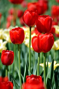 May Long Weekend - Many of the Tulips are that their peak. May Long Weekend, Beautiful Flowers, Canada, Spring, Flower Art, Tulips