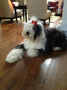 Oes English Dogs, Old English Sheepdog, Baby Animals, Cute Animals, Black And White Doodle, Portuguese Water Dog, Bearded Collie, Dogs And Puppies, Doggies