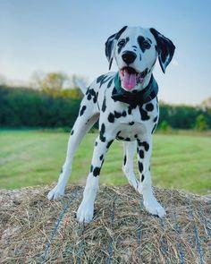 Dalmatian Dogs, Dogs Of The World, Daydream, Pitbulls, Puppies, 5 Months, Chloe, Animals, Usa
